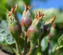 Подкормка яблонь летом во время плодоношения: правила и удобрения
