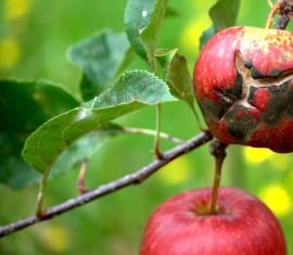 Грибок на яблоне: что делать и чем обработать деревья от заболевания