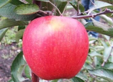 Яблоня Фуджи Кику: особенности сорта и ухода