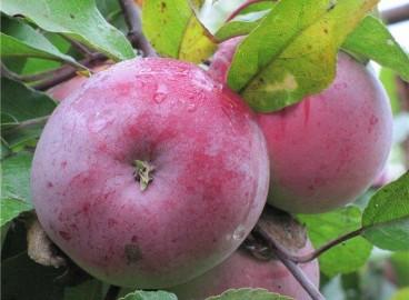 Яблоня Белорусское малиновое: особенности сорта и ухода