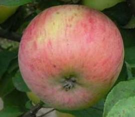 Яблоня Десертное Петрова: особенности сорта и ухода