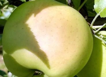 Яблоня Каштель: особенности сорта и ухода