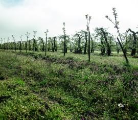 Важная роль корневой шейки у яблони: что делать, если вы слишком или недостаточно ее заглубили
