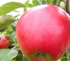 Яблоня Афродита: особенности сорта и ухода