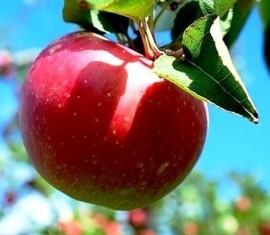 Яблоня Слава победителям: особенности сорта и ухода