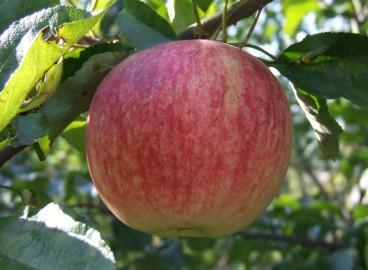 Яблоня Избранница: особенности сорта и ухода