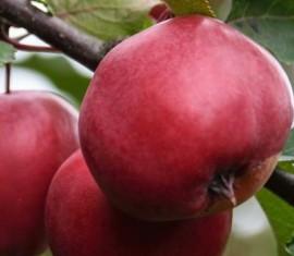 Яблоня Цыганка: особенности сорта и ухода