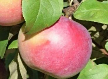 Яблоня Кумир: особенности сорта и ухода