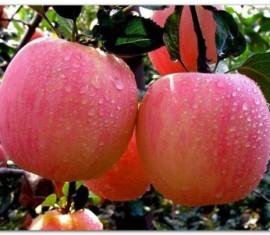 Яблоня Башкирская красавица: особенности сорта и ухода