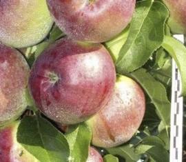 Яблоня Поэзия: особенности сорта и ухода
