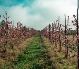 Обработка сада мочевиной: правила опрыскивания деревьев и кустарников весной для подкормки и борьбы с вредителями