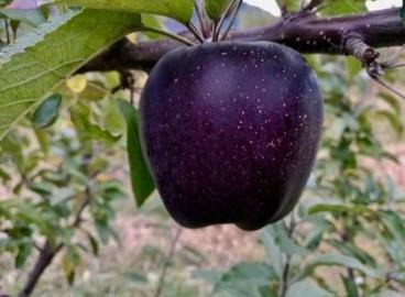 Яблоня Черный бриллиант: особенности сорта и ухода