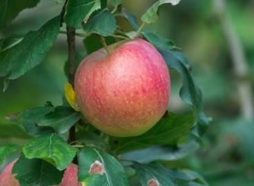 Яблоня Утес: особенности сорта и ухода