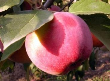 Яблоня Фаворит: особенности сорта и ухода