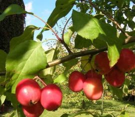 Яблоня Обильноцветущая: особенности сорта и ухода
