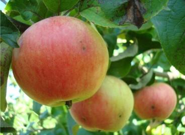 Яблоня Аркад розовый: особенности сорта и ухода