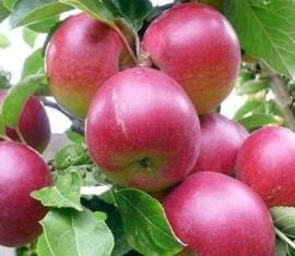 Яблоня Брусничное: особенности сорта и ухода