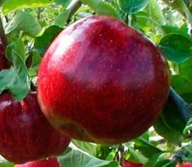 Яблоня Черный принц: особенности сорта и ухода