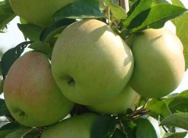 Яблоня Приокское: особенности сорта и ухода