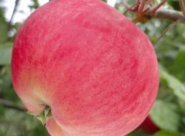 Яблоня Мантет: особенности сорта и ухода