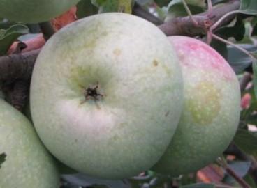 Яблоня Кутузовец: особенности сорта и ухода
