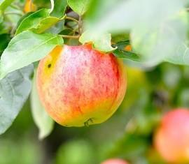 Яблоня Анис полосатый: особенности сорта и ухода