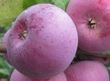 Яблоня Алеся: особенности сорта и ухода
