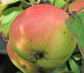 Яблоня Мирон сахарный: особенности сорта и ухода