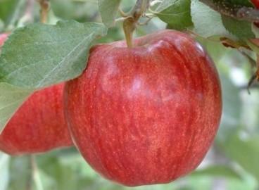 Яблоня Гала роял: особенности сорта и ухода