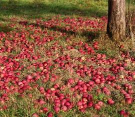 Почва для посадки яблони: требования к кислотности, коррекция, внесение удобрений и повышение плодородности