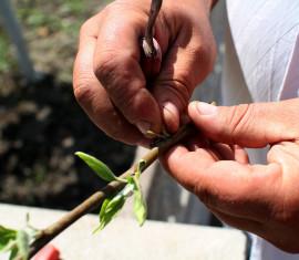 Как вырастить саженец яблони из ветки: укореняем черенок в воде и земле