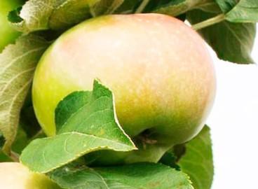 Яблоня Телеймон: особенности сорта и ухода