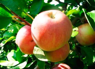 Яблоня Десертное Исаева: особенности сорта и ухода
