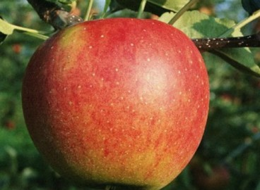 Яблоня Кортланд: особенности сорта и ухода