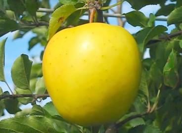 Яблоня Голден владимирский: особенности сорта и ухода