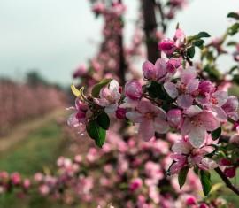 Обрезка колоновидной яблони: схема и правила формирования дерева для начинающих