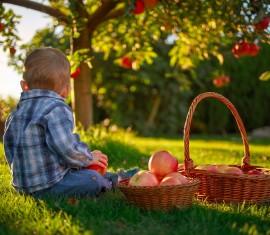 Когда собирать яблоки с дерева на хранение зимой