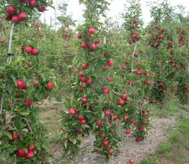 Уход за колоновидными яблонями: правила подкормки, обрезки, полива