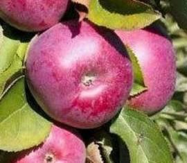 Яблоня Кармелита: особенности сорта и ухода