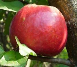 Яблоня Настенька: особенности сорта и ухода