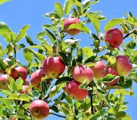 Как посадить яблоню на Урале весной и осенью: от выбора сорта до правил по уходу