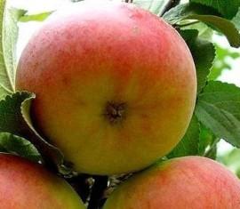Яблоня Куликовское: особенности сорта и ухода