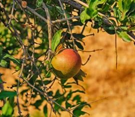 У яблони засыхают ветки: причины и способы вылечить дерево от гибели