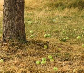 Яблоки как удобрение для почвы: советы по использованию падалицы, отходов и гнилых плодов