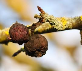 Яблоки гниют прямо на дереве: причины и лечение яблони