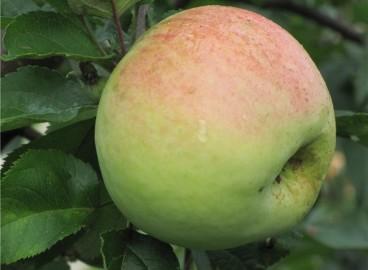 Яблоня Антоновка десертная: особенности сорта и ухода