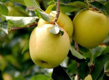 Яблоня Корей: особенности сорта и ухода