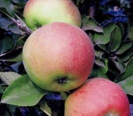 Яблоня Валюта: особенности сорта и ухода