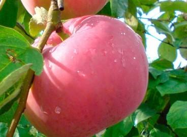 Яблоня Женева: особенности сорта и ухода