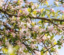 Обработка яблонь медным купоросом: важный момент в профилактике болезней и вредителей
